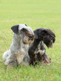 Two Czech Terriers. The funny two czech terriers on the meadow Stock Photos