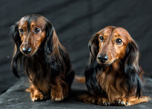 Two Dachshund on a dark background Stock Photos