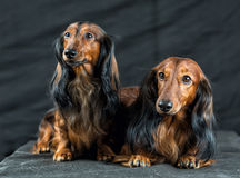 Two Dachshund on a dark background Stock Image