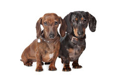Two Dachshund dogs. In front of a white background royalty free stock image