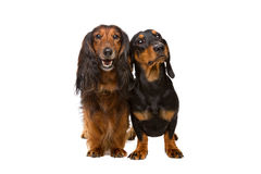 Two dachshund dogs Royalty Free Stock Photography