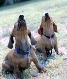 Two dachshund dogs on the lawn are looking up. stock photo