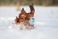 Two dachshund dogs playing outdoors in winter royalty free stock photography