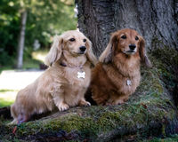 Two dachshund dogs. Portrait of two dachshund dogs stood under tree Stock Photo