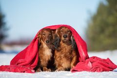 Two dachshund dogs posing outdoors in winter stock photography