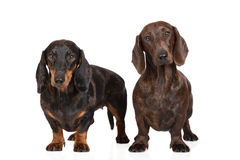 Two dachshund dogs together on white Royalty Free Stock Images