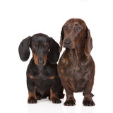 Two dachshund dogs together on white Stock Photo
