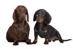 Two dachshund dogs together on white Royalty Free Stock Photo