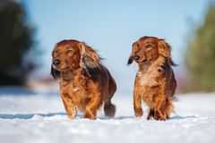 Two dachshund dogs walking outdoors in winter stock photography
