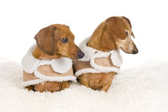Two Dachshund Dogs In Winter Coats Looking Over Stock Photography