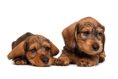 Two Dachshund puppies Stock Images