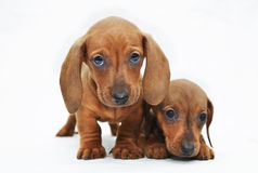 Two dachshund puppies Royalty Free Stock Images