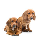 Two Dachshund Puppies / Isolated Royalty Free Stock Photography