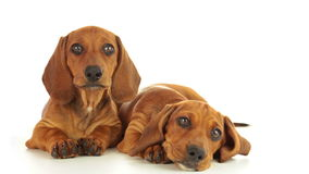Two dachshund puppies. Dachshund puppies. One puppy is calm. The second puppy shakes his head. White background stock video footage