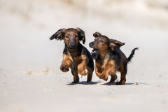 Two dachshund puppies playing outdoors. Two brown dachshund puppies running outdoors Stock Images
