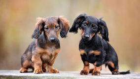 Two dachshund puppies sitting outdoors. Long haired dachshund puppies outdoors Stock Photos