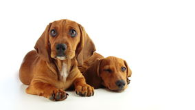 Two Dachshund Puppy on a White Background. Studio. Two puppies Dachshund lie on the white background. One puppy lifts her head and closely following the action stock video