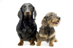 Two Dachshund sitting in a the whie studio. Two Dachshund sitting in the whie studio Stock Image