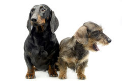 Two Dachshund sitting in the whie studio. Two Dachshund sitting in the whie photo studio Stock Photo