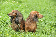 Two dachshunds Royalty Free Stock Images