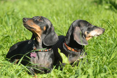 Two dachshunds Royalty Free Stock Photography