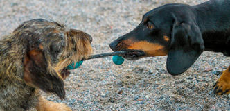 Two dachshunds with a ball Stock Photo