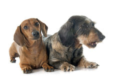 Two dachshunds Stock Image
