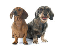 Two dachshunds Stock Images