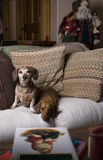 Two Dachshunds in a Homey Christmas Setting. Two dachshunds sitting on a pillow stuffed sofa with Christmas decorations around Royalty Free Stock Photo