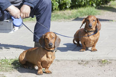 Two dachshunds on a lead with the owner Royalty Free Stock Images