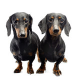 Two Dachshunds loking into the camera in the white studio Stock Image