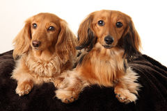 Two Dachshunds Royalty Free Stock Image