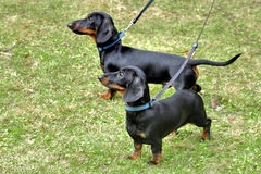 Two dachshunds Stock Photography