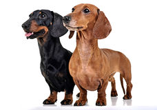 Two Dachshunds staying in the white studio floor. Two Dachshunds staying in the white photo studio floor Stock Images