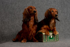 Two dachshunds and treasure box Stock Photography