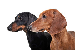Two Dachshunds watching left in a the white studio. Two Dachshunds watching left in the white studio Stock Photo