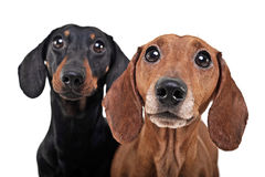 Two Dachshunds watching in a the white studio. Two Dachshunds watching in the white studio Royalty Free Stock Photography