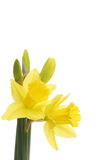 Two daffodil flowers and buds Royalty Free Stock Photos