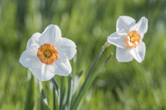 Two Daffodil flowers in the garden Stock Photo