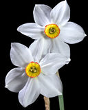 Two daffodils on black background Royalty Free Stock Image