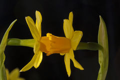 A daffodil contact Royalty Free Stock Photo