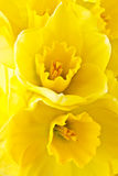 Two daffodils Royalty Free Stock Photography
