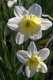 Two daffodils in the garden. Narcissus is a genus of predominantly spring perennial plants. Various common names including daffodil, daffadowndilly, narcissus Royalty Free Stock Photography