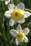 Two daffodils on a green background. Narcissus is a genus of predominantly spring perennial plants. Various common names including daffodil, daffadowndilly Royalty Free Stock Photos