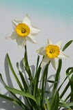 two daffodils Stock Image