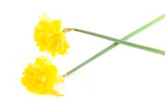 Two Daffodils on White Background Stock Image