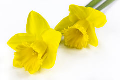 Two daffodils on white background Stock Photos