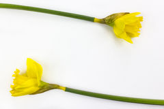 Two daffodils on white background Royalty Free Stock Photos