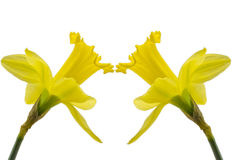 Two daffodils on white background Royalty Free Stock Image