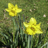 Two daffodils. Two yellow daffodils growing in grass with nearest in focus Stock Images